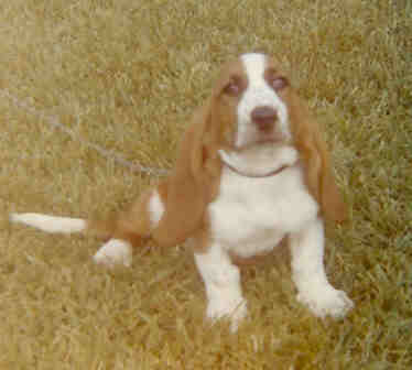 Sadie, a sweet and funny Bassett Hound